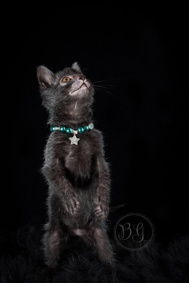 gato que se parece com um lobisomem