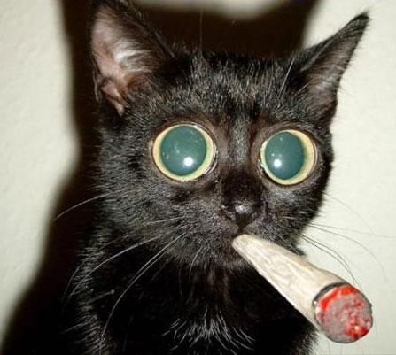 Não. A erva do gato não funciona assim...