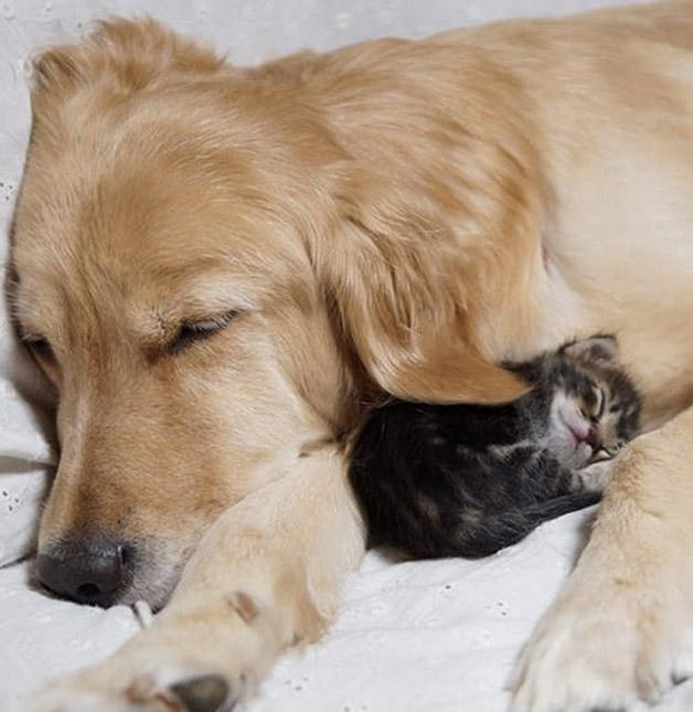 Cachorro adota gatinho