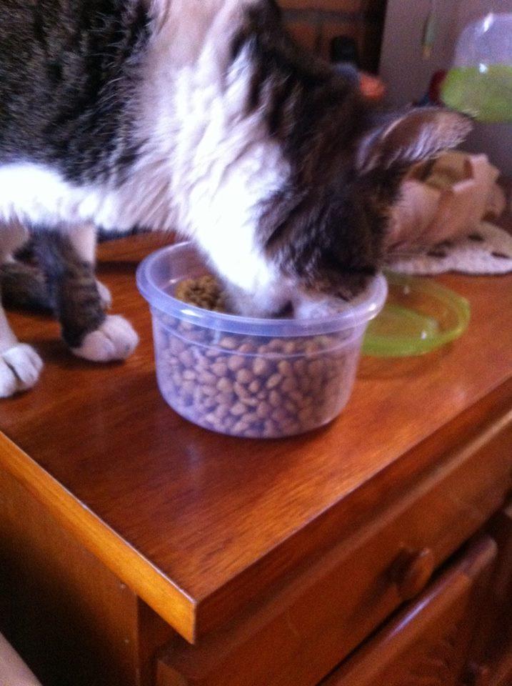 Pluto comendo - gato renal
