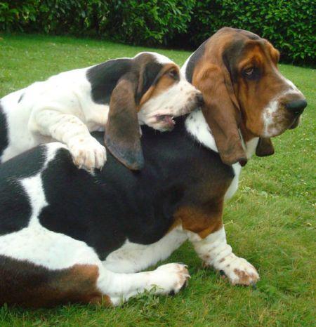 basset-hound raça de cachorro