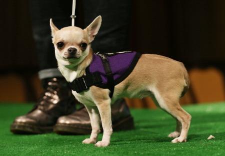 chihuahua raça de cachorro
