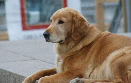 goldo-retrivo raça de cachorro