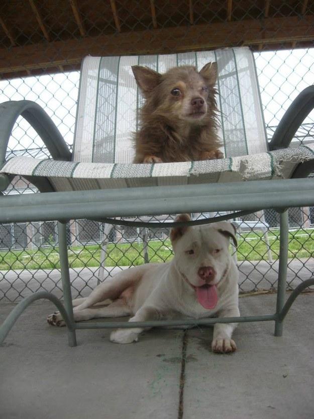 Pit Bull salva Chihuahua 5