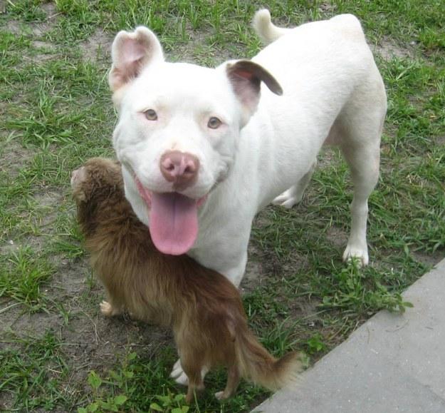 Pit Bull salva Chihuahua 6