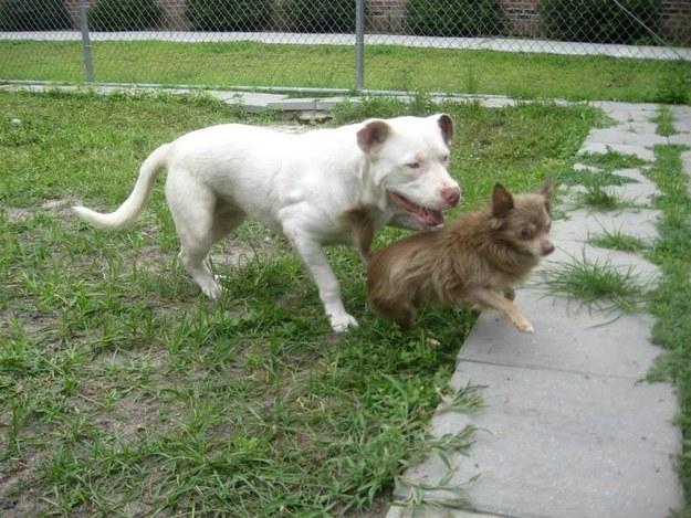 Pit Bull salva Chihuahua 7
