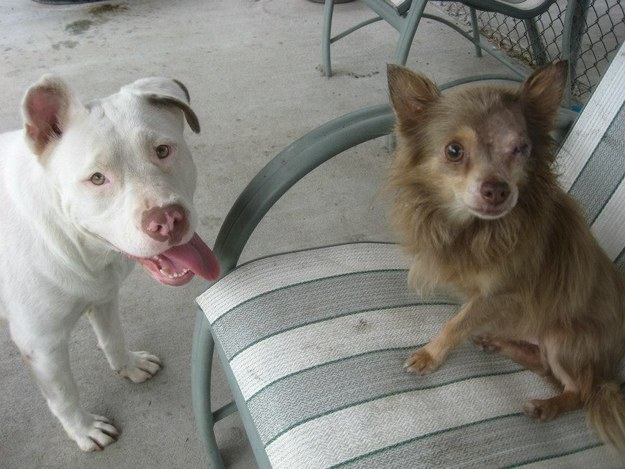 Pit Bull salva Chihuahua  8
