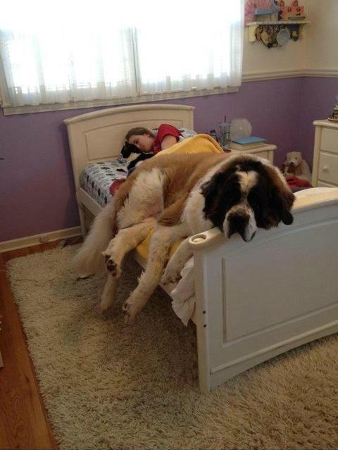 cão grande 12